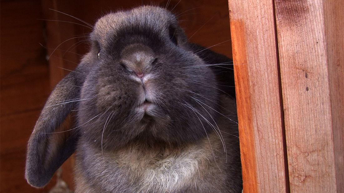 Pet Sitting, Rabbit